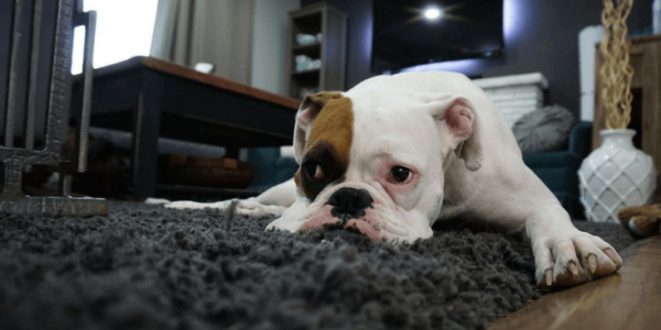 Boxer puppy relaxing on grey rug slider