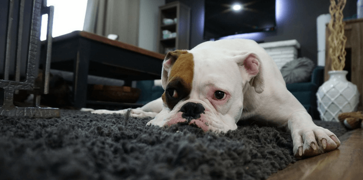 Boxer Puppy relaxing on grey rug | DRA Homes | Lifestyle Homes