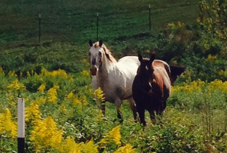 Two horses in a field with yellow flowers